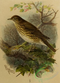 birds_full_color-01615 - 045-SONG-THRUSH