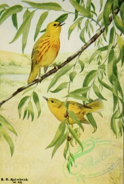 birds_full_color-01620 - YELLOW WARBLER