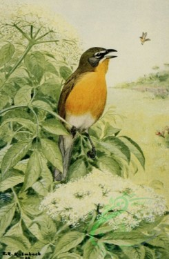 birds_full_color-01621 - YELLOW-BREASTED CHAT