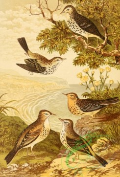 birds_full_color-01629 - Richard's Pipit, Meadow Pipit, Red-throated Pipit, Tree Pipit, Rock Pipit