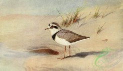 birds_full_color-01646 - RINGED-PLOVER