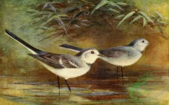 birds_full_color-01647 - WHITE WAGTAIL
