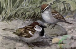 birds_full_color-01656 - ENGLISH SPARROW, CHIPPING SPARROW