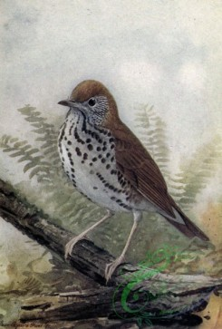 birds_full_color-01679 - WOOD THRUSH