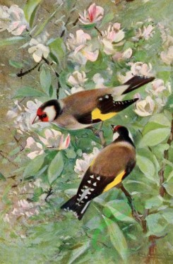 birds_full_color-01680 - Goldfinch