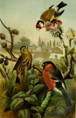 birds_full_color-01751 - European Goldfinch, carduelis carduelis, Finch, Bullfinch