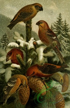 birds_full_color-01752 - Pine grosbeak, Crossbill