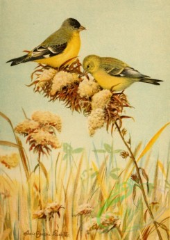 birds_full_color-02018 - Green-backed Goldfinch