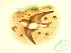 birds_in_flight-00065 - Sand-Martin
