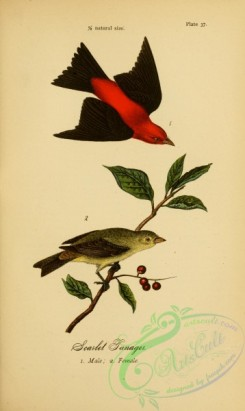 birds_in_flight-00108 - Scarlet Tanager