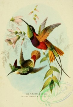 birds_in_flight-00113 - Peruvian Coquette Hummingbird, Crimson Topaz Hummingbird