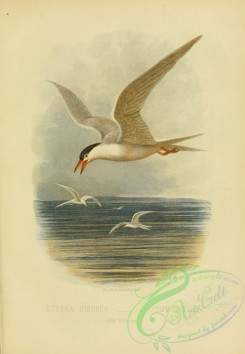 birds_in_flight-00191 - Common Tern, sterna hirundo