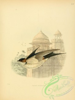 birds_in_flight-00220 - hirundo erythropygia