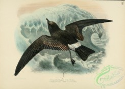 birds_in_flight-00272 - RIDGWAY'S PETREL