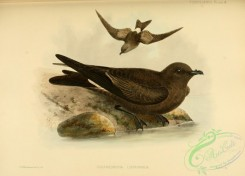 birds_in_flight-00297 - LEACH'S PETREL