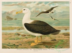 birds_in_flight-00329 - Black-browed Albatross, diomedea melanophrys