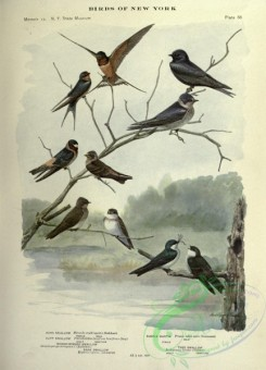 birds_in_flight-00345 - Barn Swallow, Purple Martin, Cliff Swallow, Rough-winged Swallow, Bank Swallow, Tree Swallow