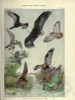 birds_in_flight-00350 - Turkey Vulture, Bald Eagle, Buteo (Red-tailed Hawk), Falcon (Duck Hawk), Accipiter (Cooper Hawk), Archibuteo (Rough-legged Hawk), Marsh Hawk, Fish Hawk
