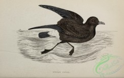 birds_in_flight-00399 - Stormy Petrel