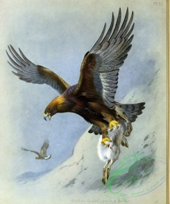 birds_in_flight-00431 - Golden Eagle