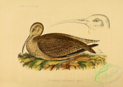 birds_of_japan-00001 - Bristle-thighed Curlew, numenius tahitiensis
