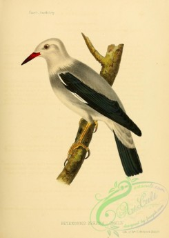 birds_of_japan-00002 - heterornis sericea