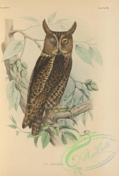 birds_of_japan-00016 - 012-Japanese Scops-Owl [incl ussuriensis], otus semitorques