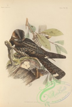 birds_of_japan-00020 - 017-Grey Nightjar, caprimulgus jotaka