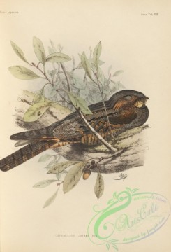 birds_of_japan-00021 - 018-Grey Nightjar, caprimulgus jotaka