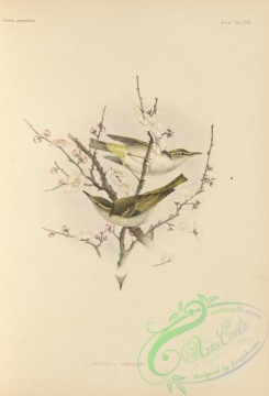 birds_of_japan-00030 - 027-Eastern Crowned-Warbler, ficedula coronata