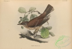 birds_of_japan-00043 - 040-turdus daulias