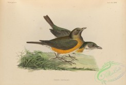 birds_of_japan-00045 - 042-Brown-headed Thrush, turdus chrysolaus