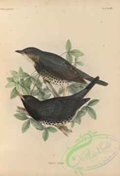 birds_of_japan-00046 - 043-Japanese Thrush, turdus cardis
