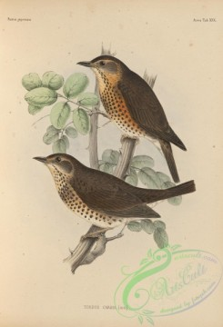 birds_of_japan-00047 - 044-Japanese Thrush, turdus cardis