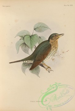 birds_of_japan-00048 - 045-Siberian Thrush, turdus sibiricus