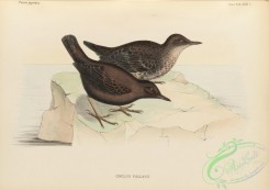 birds_of_japan-00050 - 047-Brown Dipper, cinclus pallasii