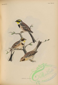 birds_of_japan-00068 - 074-Yellow-throated Bunting, emberiza elegans