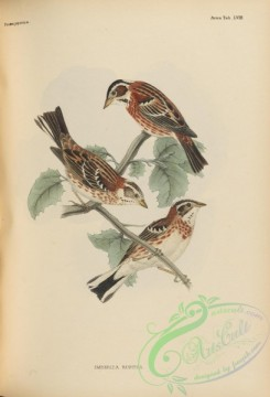 birds_of_japan-00072 - 078-Rustic Bunting, emberiza rustica