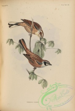 birds_of_japan-00073 - 079-Meadow Bunting, emberiza cioides