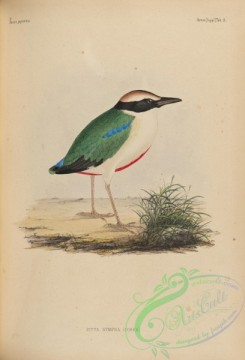 birds_of_japan-00097 - 119-Fairy Pitta, pitta nympha