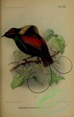 birds_of_paradise-00186 - diphyllodes hunsteini