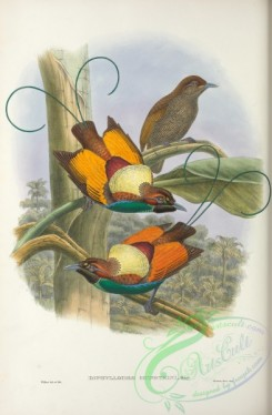 birds_of_paradise-00234 - diphyllodes hunsteini
