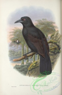 birds_of_paradise-00256 - lycocorax morotensis