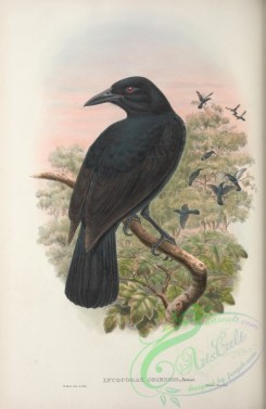 birds_of_paradise-00257 - lycocorax obiensis
