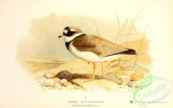 birds_of_russia-00049 - Common Ringed Plover, charadrius hiaticula