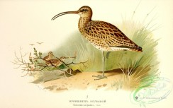 birds_of_russia-00054 - Curlew, numenius arquatus