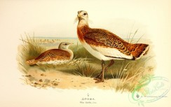 birds_of_russia-00068 - Great Bustard, otis tarda