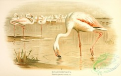 birds_of_russia-00069 - Greater Flamingo, phoenicopterus roseus