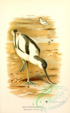birds_of_russia-00071 - himantopus avocetta