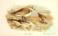 birds_of_russia-00072 - Kentish Plover, charadrius cantianus